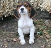 beagle puppies(chantehc@yahoo.com)