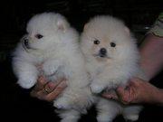 NDSN Stunning,  miniature White Pom  07031956739